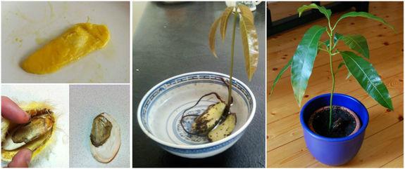 Как вырастить манго из в домашних условиях